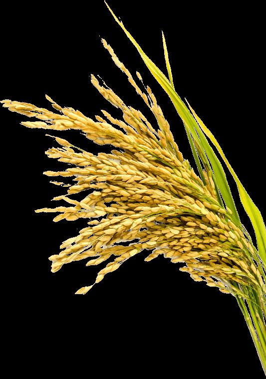 地球環境変動に負けない稲作技術を構築する